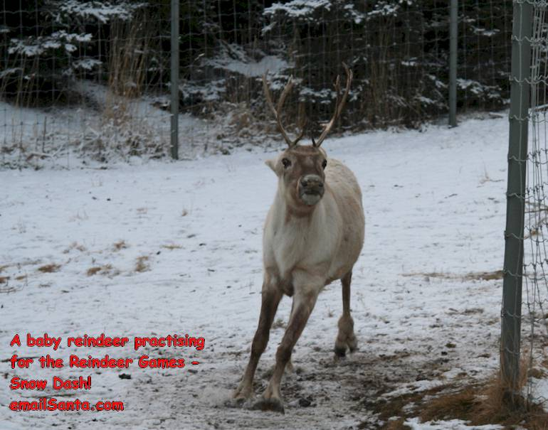 A baby reindeer practising for the Reindeer Relay